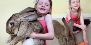 Самый толстый кролик в мире весом 25 кг