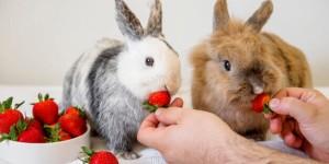 Можно ли давать декоративным кроликам клубнику?