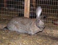Кролики породы Ризен - Немецкий Великан