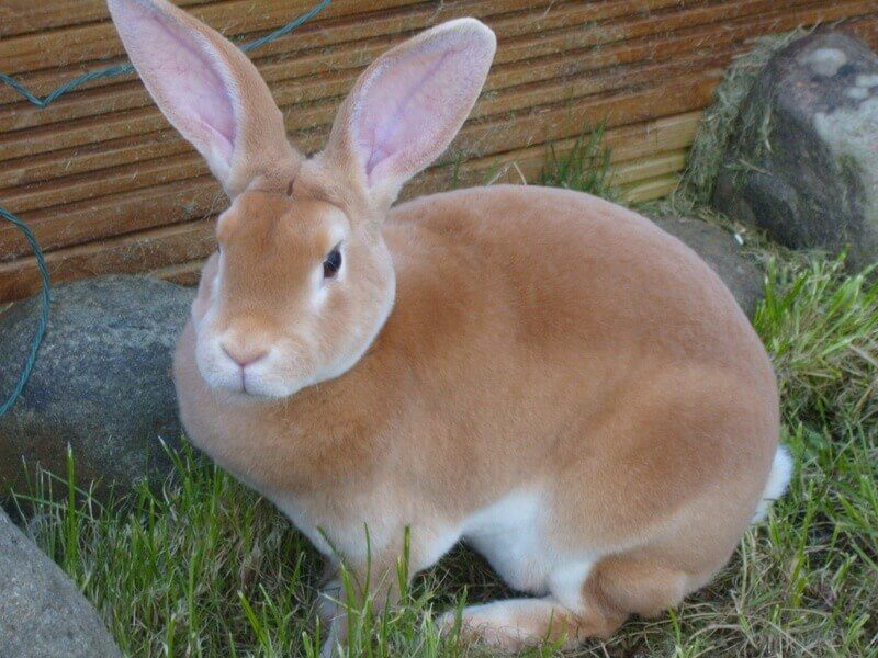 Кролики породы Рекс