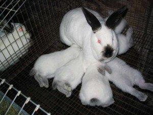как определить молочность крольчих