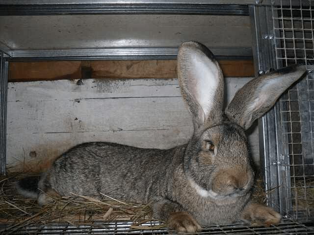 Кролики породы Бельгийский Великан - Фландр