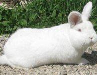 ЛПХ Кролик-Гигант