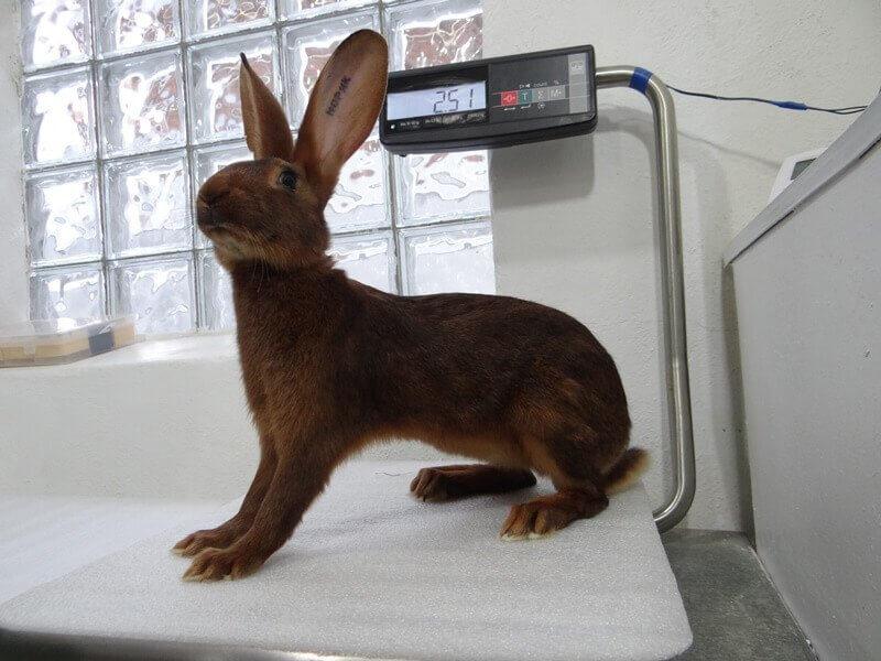 Кролики породы Бельгийский Заяц