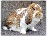 Кролики породы Французский Баран