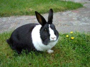 Кролики породы Голландская