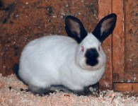 Кролики породы Русский Горностаевый
