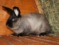 Кролики породы Советский Мардер