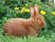 Кролики породы Новозеландская Красная