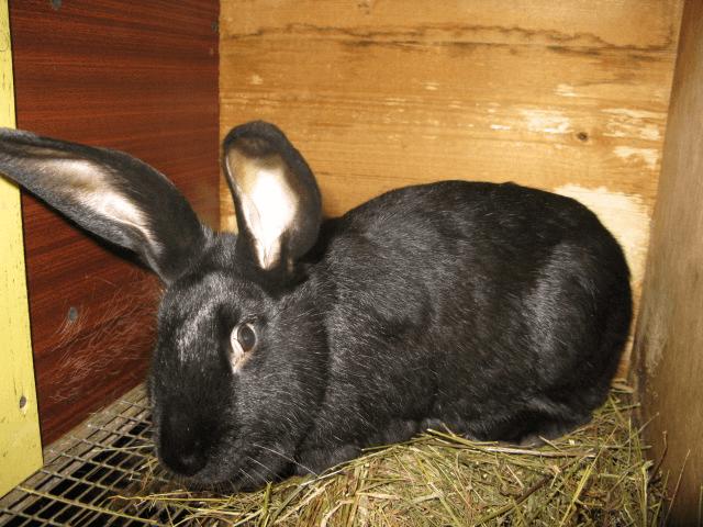 Кролики породы Черно-бурый