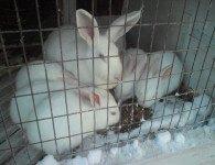 Окрол кроликов зимой - зимний окрол