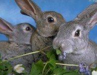 Зеленые корма для кроликов