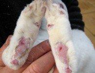 Пододерматит у кроликов