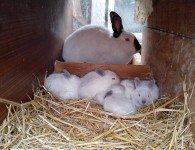 У крольчихи мало молока чем её кормить