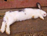 Солнечный и тепловой удар у кроликов