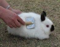Декоративный кролик линька и уход во время линьки