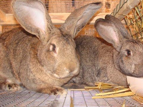 Как определить беременность крольчихи
