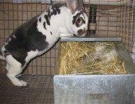 Чем кормить беременных (сукрольных) крольчих