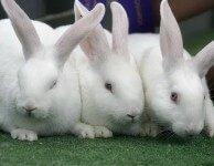 Как кастрировать кроликов и для чего