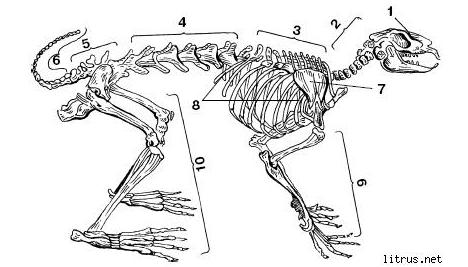 Скелет кролика: особенности и строение