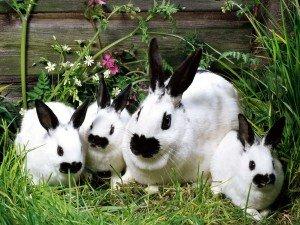 Как выбрать крольчиху для разведения