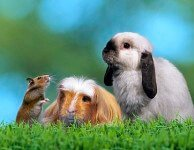 Стригущий лишай у декоративных кроликов и морских свинок