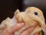 Пододерматит у декоративных кроликов - мозоли на лапах