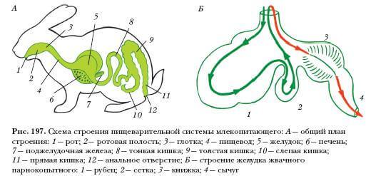Пищеварительные органы кроликов