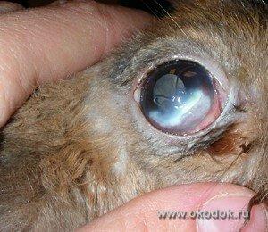 Травматическая язва роговицы у кролика