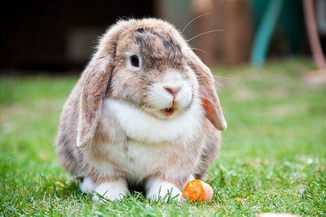 Домашний кролик пастух из Швеции