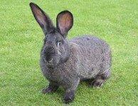Ящур - афтозная лихорадка кроликов