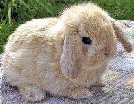 Зубы у декоративных кроликов, что надо знать