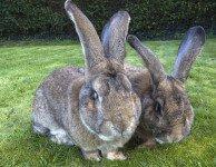 Энцефалитозооноз - нозематоз кроликов