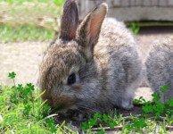 Энтеротоксемия у кроликов и грызунов
