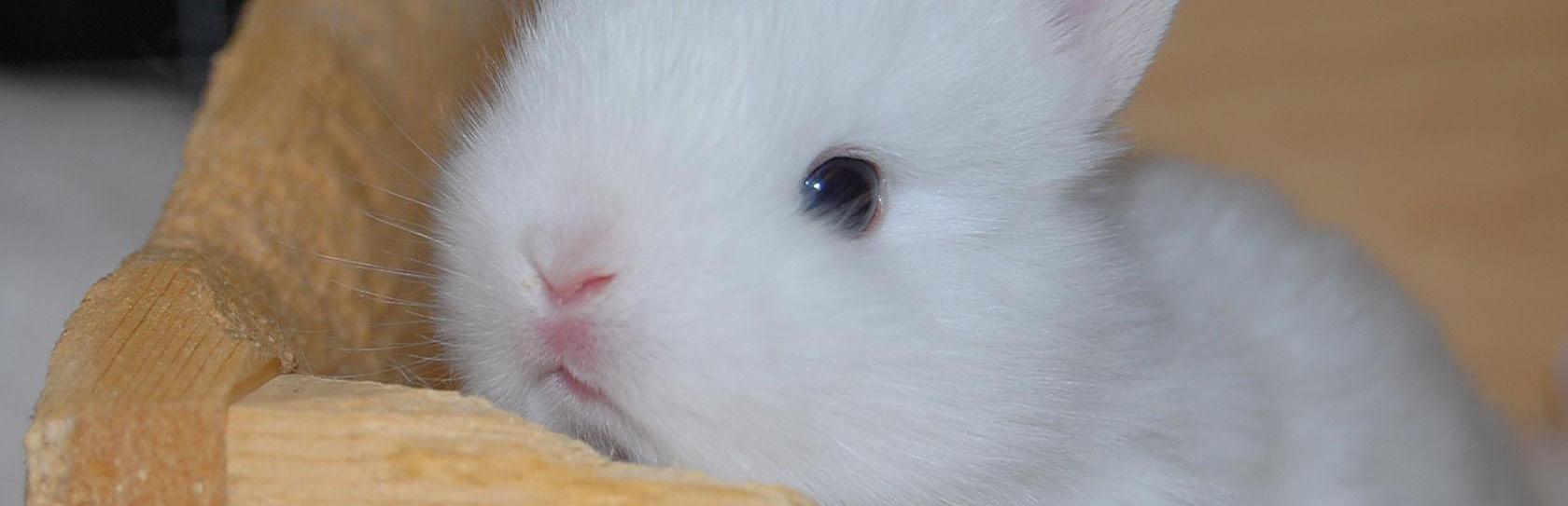 Почему декоративный кролик лижет вещи