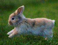 Железы внутренней секреции у кроликов