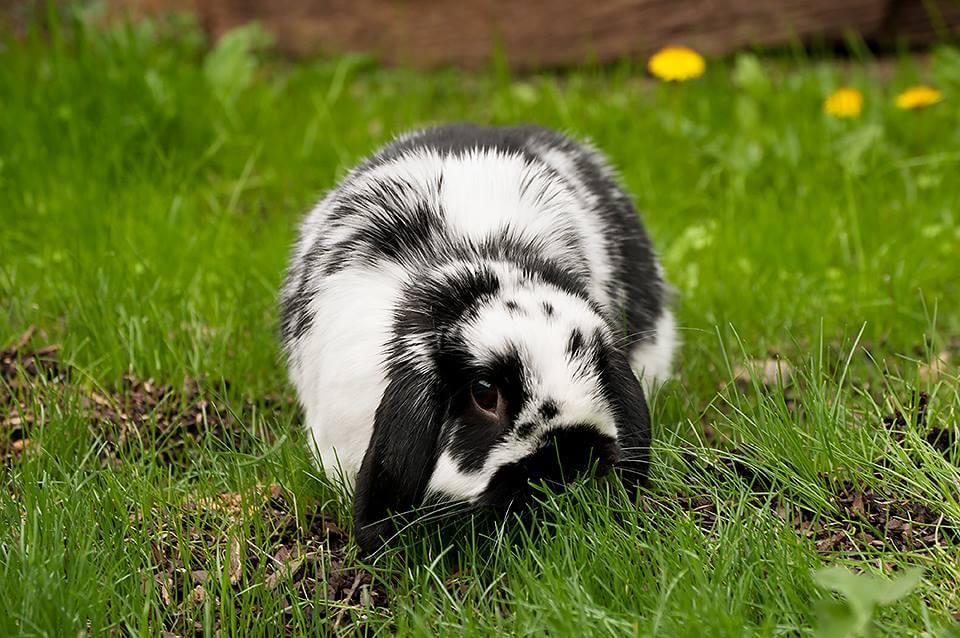 Капрофагия у кроликов - поедание собственного кала