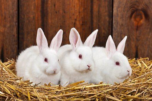 Цистицеркоз - финноз кроликов