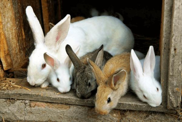 Оспа кроликов