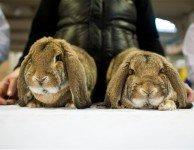 Чума кроликов