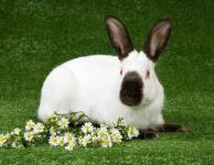 Инфекционный стоматит кроликов