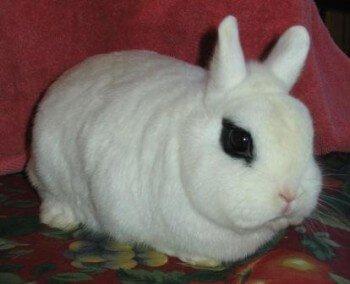 Цветные карликовые кролики