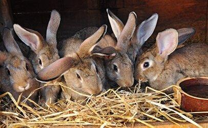 Грубые корма в рационе кроликов