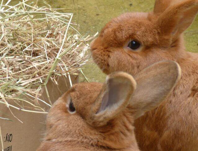 Лейкоз, лейкемия, белокровие кроликов