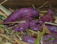 Почему у крольчихи выкидыши
