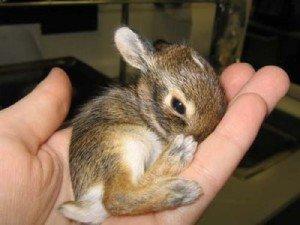 Как узнать, кормит ли крольчиха крольчат