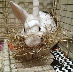 Как узнать беременная ли крольчиха