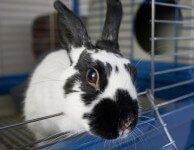 Псевдотуберкулез кроликов