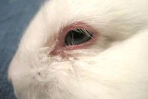 Инфекционный кератоконъюнктивит кроликов