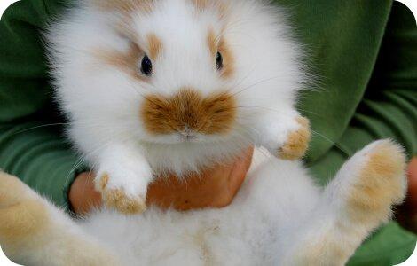 Приучить декоративного кролика